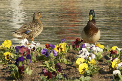 What's a handsome duck like you doing in a place like this (ucumari photography) Tags: flowers bird duck dc washington april pansies 2011 specanimal ucumariphotography dsc7883