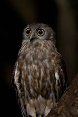 Barking Owl (djangobrownie) Tags: bird animal owl kakadu barkingowl