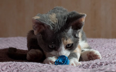 Total Focus (peter_hasselbom) Tags: cats cat spiral 50mm spring kitten play flash kittens calico devonrex 7weeksold 1flash tortiewithwhite
