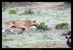Defender (Grievous247) Tags: wild nature cat fur blood kill wildlife sony hunting lion running bigcat mara vulture lioness carcass bigfive masaimara a700 sal70400g wildlifesunsafaris