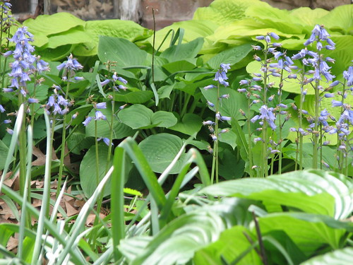 Spanish bluebells and hostas