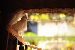 [126/365] White Dove (Dodzki) Tags: nikon may pcc 2011 cebusugbo d5000
