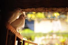 [126/365] White Dove (Dodzki) Tags: nikon may pcc 2011 cebusugbo d5000