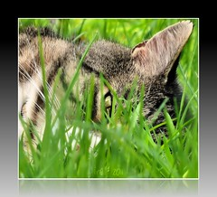 Even the most seasoned Guardians Take a little break from their post. (texym11-in and out :)) Tags: green nature grass cat spring backyard chat tabby may gato cannon adopted tre loved katzen rescued tomcat 2011 familypet fiv catmoments threelegcat friendsofzeusphoebe