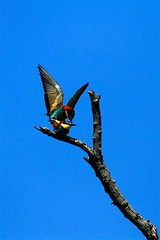 GRUCCIONI (chiar@s.) Tags: italy birds uccelli mating emiliaromagna beeeater meropsapiaster abelharuco bienenfresser chiaras bijeneter accoppiamento gruccione guepierdeurope