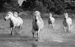 Camargue's horses (Cédric A. Photographie ) Tags: blue horses sun white black water photoshop canon cheval eos soleil is blackwhite drops eyes waterdrop eau noir noiretblanc bokeh riviere oeil paca bleu usm cascade blanc hdr highdynamicrange goutte flou cours chevaux camargue canon70200f4l lumièrenaturelle lumièredujour gouttedeau 50d nonis profondeurdechamp cs5 canoneos50d