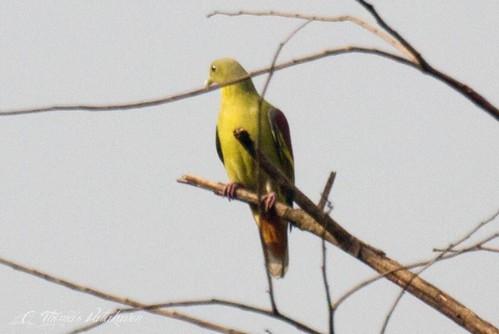 Pompadour Green Pigeon