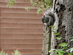 Squirrel (Albert's Images) Tags: nature canon eos squirrel hiking trail dxo openspace efs efs1785mmf456isusm rancho losaltos ranchosanantonio dxoopticspro xti 400d