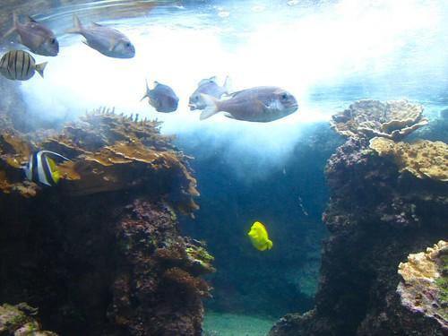 solo yellow fish