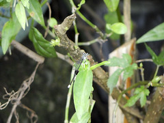豆娘 Damselfly (ddsnet) Tags: insect sony cybershot damselfly 昆蟲 odonata 蜻蛉 豆娘 cybershor hx100v