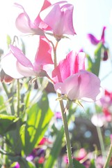 Pink Light (jencape) Tags: flower garden spring sweetpea sweetpeaflower