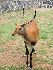Graciela (Quandos) Tags: animal zoo gacela zacango