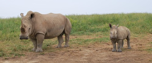 S. White Rhino mom and baby