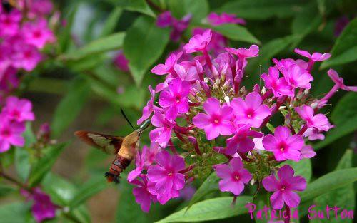 Hummingbird Moth-Phlox