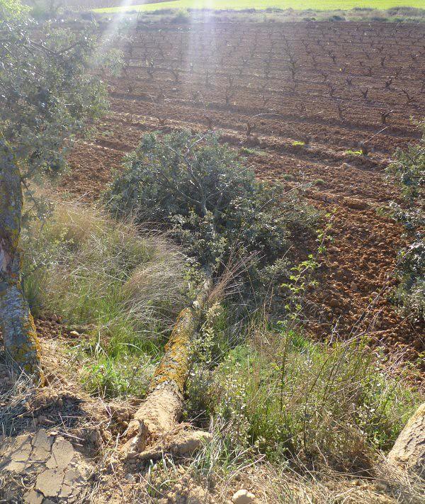 Encinas centenarias arrancadas por los operarios de Ayuntamiento de Aranda
