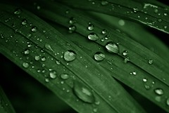 This year's First monsoon rain (Kushal Kafle) Tags: green water rain closeup silver leaf shiny raindrops waterdrops