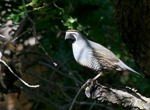 backyard quail farming images