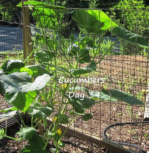 cucumber_34