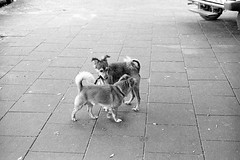Two dogs (Hunchentoot) Tags: street blackandwhite bw dog slr film dogs animal animals analog israel tiere telaviv nikon asia asien kodak trix grain hund sw kodaktrix 1995 agfa rodinal nikonfm2 hunde korn tier fm2 singlelensreflex agfarodinal schwarzweis strase weitz kleinbild ediweitz bwfp edmundweitz