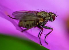 Macro Fly (vernonbone) Tags: 105mm 2016 autumn d3200 lens ontario september waterdroplets closeup garden marco105mmsigma nikon outside sigma