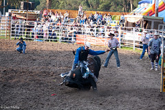 Whoa There. (Deon Mackay Photograpy) Tags: life travel horse music bareback spurs pain cowboy mud barrels clown country stock hard hats horns 8 rope flags bull bulls dirt rodeo steer cockatoo dust clowns cowgirls rider crowds swags buckles bronc seconds skill hoofs competitor areana bulfighting barrelrace saddlebronc