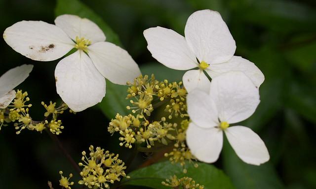 華八仙-花與花托