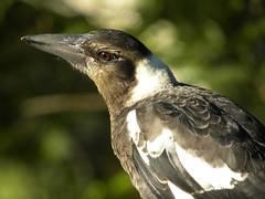 Juvenile Australian Magpie (Cracticus tibicen) (magdalena_b) Tags: fauna avian australianwildlife australianbird