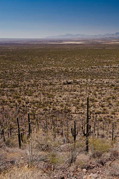 Sea of Saguaro