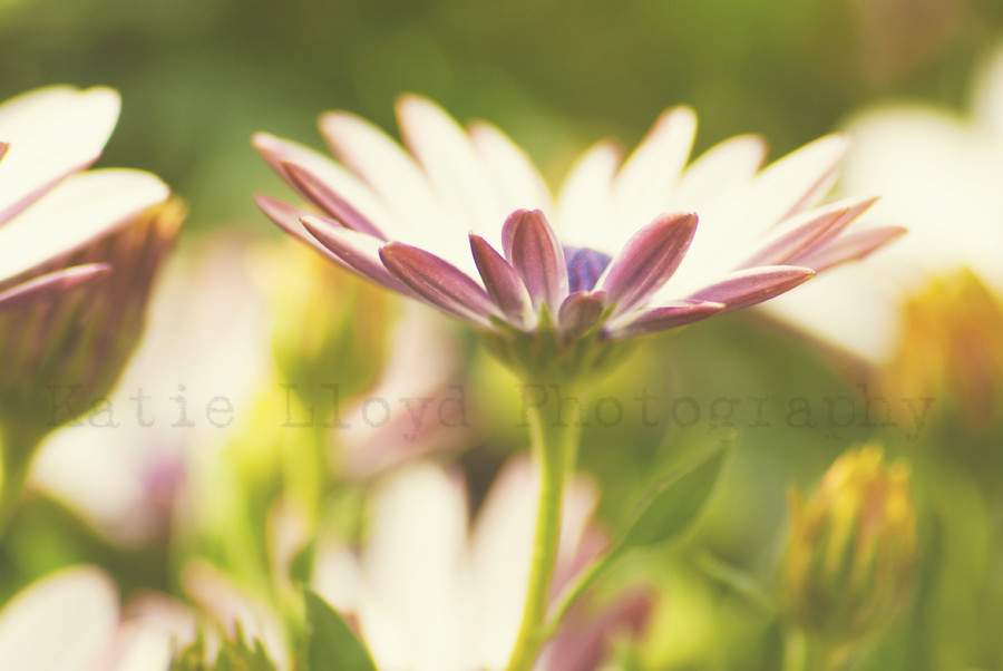 White & Purple Daisy 1