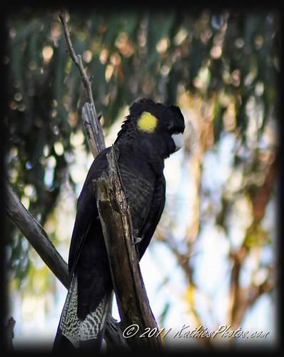 98-365 Yellow-tailed black cockatoo
