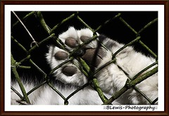 Snow Leopards Paw. (::BLewis-Photography::) Tags: uk zoo kent fujifinepix howletszoo howletsanimalwildlifepark