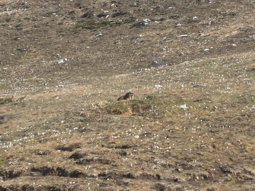 marmotta e crocus