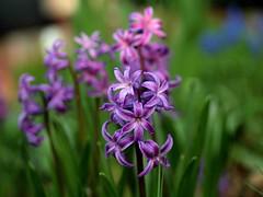 Hyacinth  dof (saxonfenken) Tags: flower green garden dof purple superhero storybook hyacinth shallowdof bigmomma gamewinner 6898 challengeyou challengeyouwinner friendlychallenge dofshallow herowinner storybookwinner pregamesweepwinner pregameduelwinner 6898flower