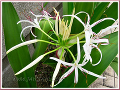 Closeup of Crinum asiaticum (Giant/Grand Crinum Lily, Poison Bulb) with white flowers