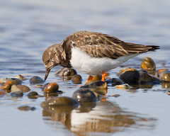 Turnstone 2 (Andrew H Wildlife Images) Tags: bird nature wildlife norfolk salthouse turnstone wader canon7d ajh2008