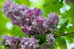 Parfum d'avril ~ April perfume (Michele*mp) Tags: france spring europe lilac april avril printemps lilas meylan isre rhnealpes dauphin itsawonderfulworld michelemp floralaromas