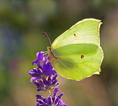 Mr Brimstone (Greenwings Wildlife Holidays) Tags: flower male yellow butterfly insect wings purple lepidoptera butter underside backlit brimstone lavendar tamron90mm greenwings gonepteryxrhamni mattberry canon50d butterflyconservation photocontesttnc11 greenwingsco