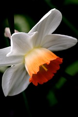 Narcissus (judy dean) Tags: orange flower garden spring trumpet daffodil narcissus