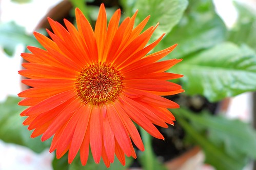 Gerber Daisy Abloom by Eve Fox, Garden of Eating blog, copyright 2011