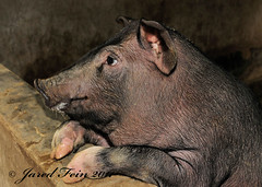Not the Dark Horse of the Family (SewerDoc (200 Explores)) Tags: china animal animals liriver pig asia guilin farm pigs piglet hog piggie guanxi impressedbeauty sewerdoc jaredfein
