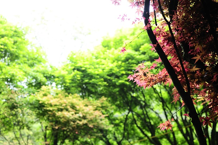 taipei-auwanta-maple-leaves