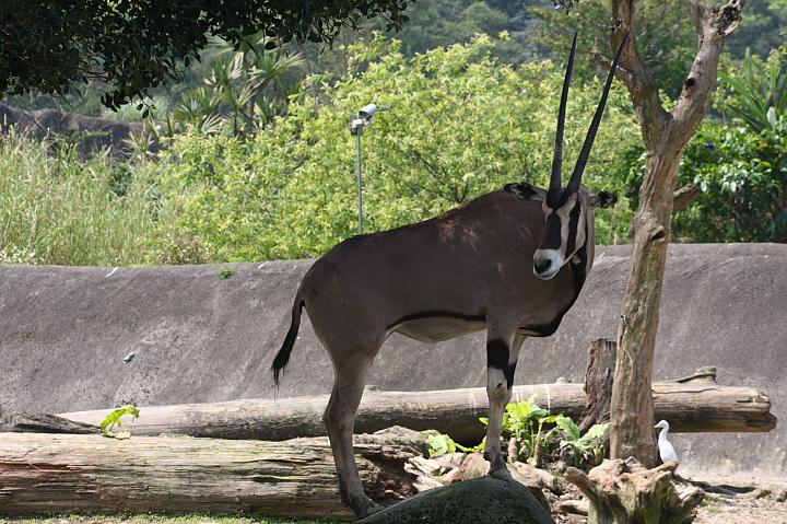 木柵動物園(直角羚羊)035