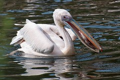 Lunchtime! (Supervliegzus) Tags: nature pelican catchingfish