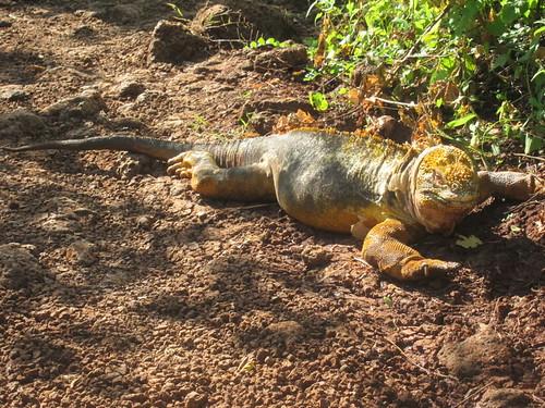 Lazy Land Iguana