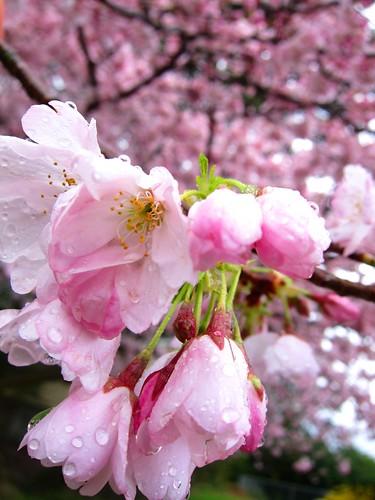 CherryBlossomsRain