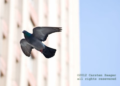 DSC_1677.jpg (Carsten Saager) Tags: flight pidgeon