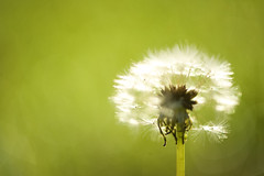 Green Fairies........ (Michael Brooking Photography) Tags: plant green nature backlight weed nikon dof bokeh 85mm dandelion seeds faries d700 michaelbrookingphotography