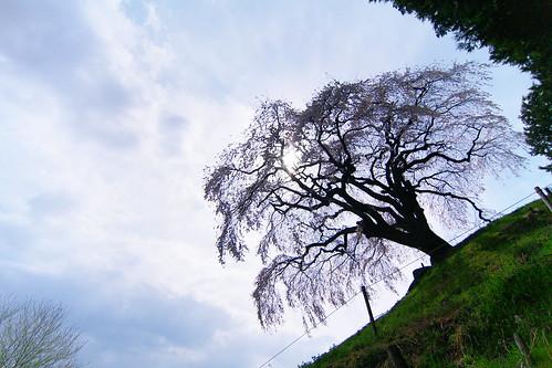 乙ヶ妻 しだれ桜[おっかづま]