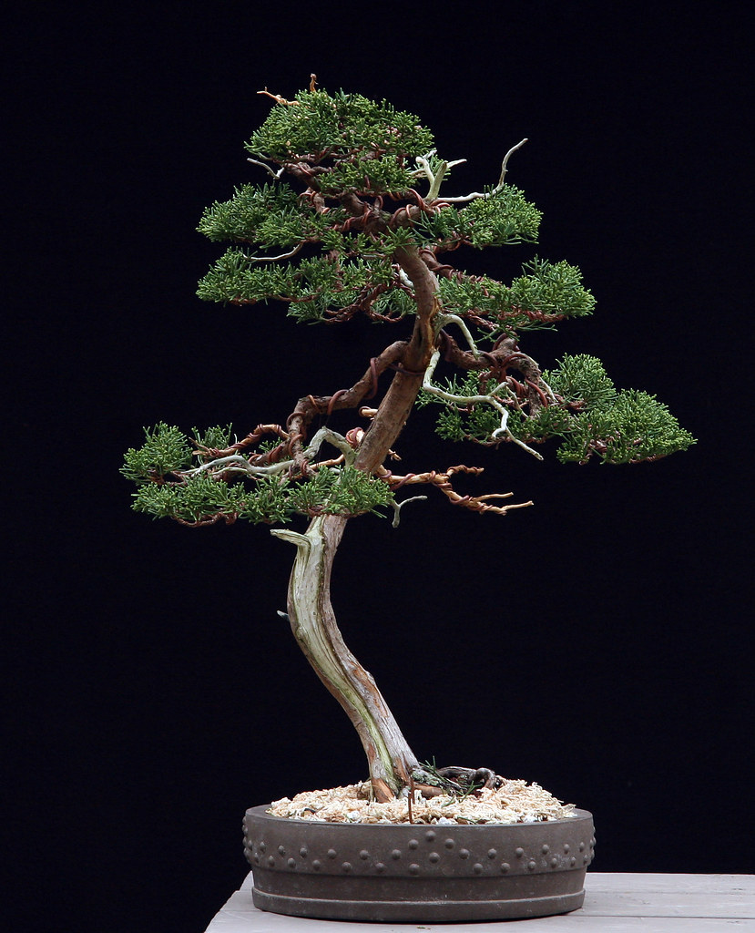 The world 39 s best photos of bonsai and mikepollock flickr for Literati bonsai gallery