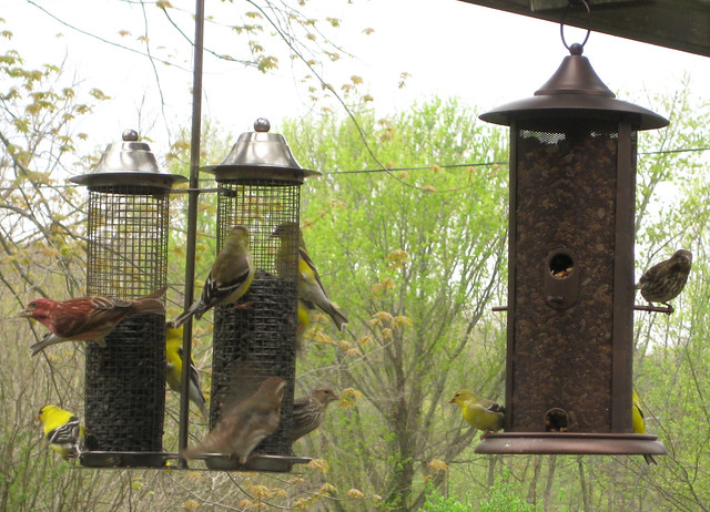 frenzy of finches
